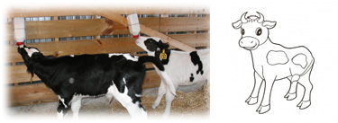 Calf Management