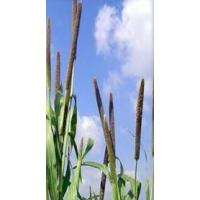 Bajra or Pearl Millet Pennisetum Typhoides