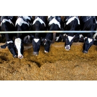 Feeding Management of High Producing Dairy Cows and Buffaloes