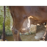 Package of Practices for Mastitis Control and Clean Milk Production